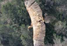 a-big-vulture