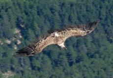 vulture-improved-2