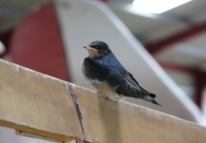 young-swallow-in-the-hanger